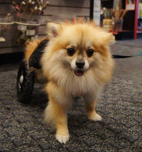 Scout in her customized wheelchair